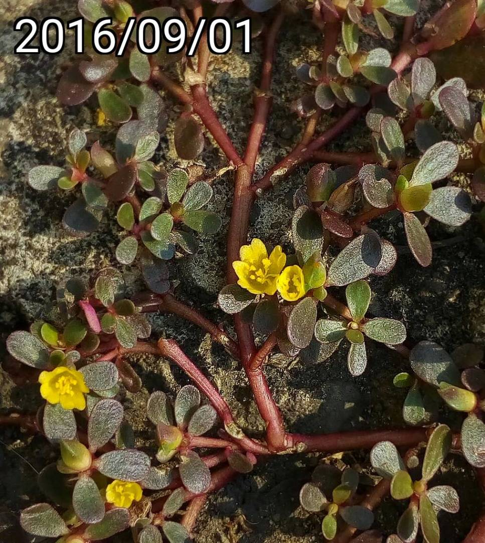 野生黃色 馬齒莧、豬母草  wild yellow Portulaca oleracea 英文名稱:common purslane, verdolaga, pigweed, little hogweed,  pursley, and moss rose